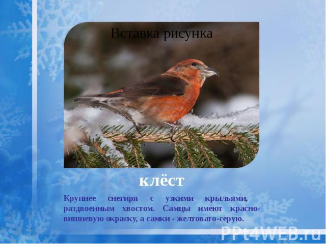 клёст Крупнее снегиря с узкими крыльями, раздвоенным хвостом. Самцы имеют красно-вишневую окраску, а самки - желтовато-серую.