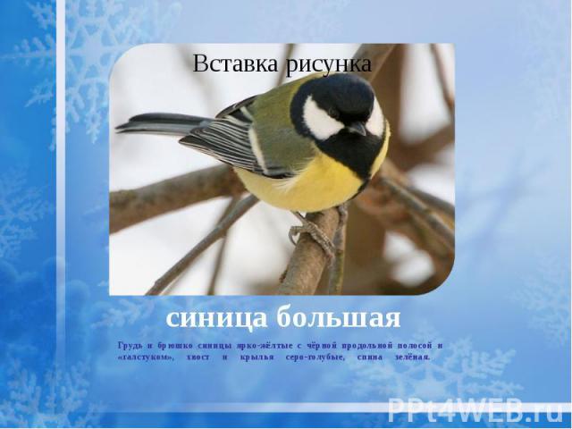 синица большая Грудь и брюшко синицы ярко-жёлтые с чёрной продольной полосой и «галстуком», хвост и крылья серо-голубые, спина зелёная.