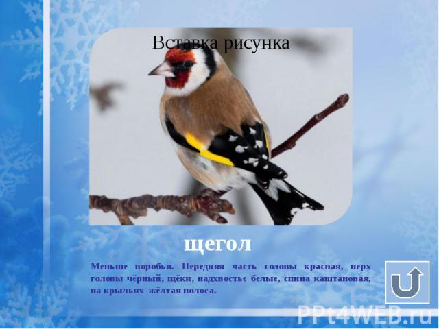 щегол Меньше воробья. Передняя часть головы красная, верх головы чёрный, щёки, надхвостье белые, спина каштановая, на крыльях жёлтая полоса.