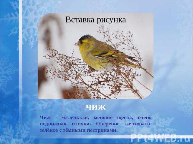 чиж Чиж - маленькая, меньше щегла, очень подвижная птичка. Оперение желтовато-зелёное стёмными пестринами.