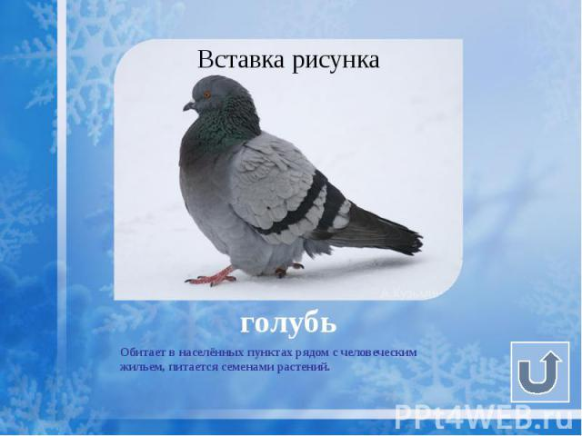 голубь Обитает в населённых пунктах рядом с человеческим жильем, питается семенами растений.