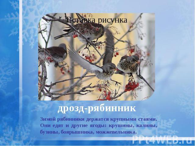 дрозд-рябинник Зимой рябинники держатся крупными стаями. Они едят и другие ягоды: крушины, калины, бузины, боярышника, можжевельника.