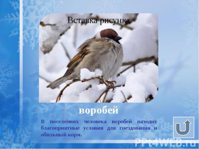 воробей В поселениях человека воробей находит благоприятные условия для гнездования и обильный корм.