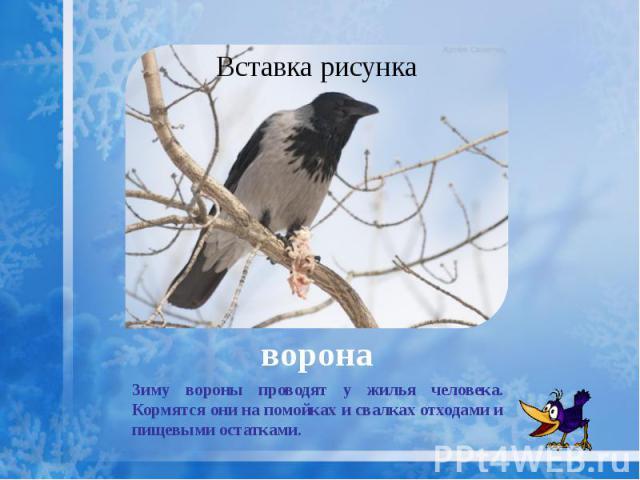 ворона Зиму вороны проводят у жилья человека. Кормятся они на помойках и свалках отходами и пищевыми остатками.