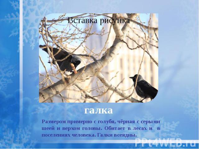 галка Размером примерно с голубя, чёрная с серыми шеей и верхом головы. Обитает в лесах и в поселениях человека. Галки всеядны.