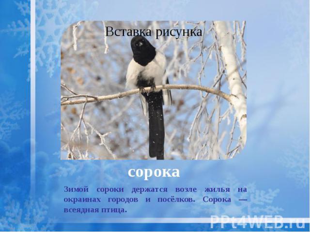 сорока Зимой сороки держатся возле жилья на окраинах городов и посёлков. Сорока — всеядная птица.