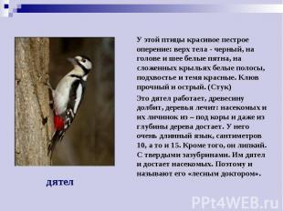 У этой птицы красивое пестрое оперение: верх тела - черный, на голове и шее белы