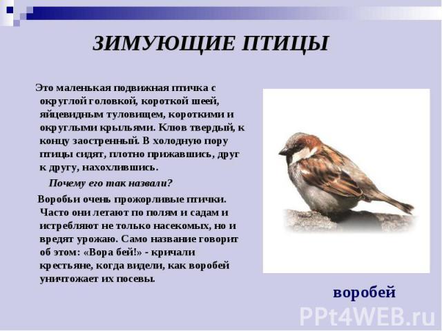 ЗИМУЮЩИЕ ПТИЦЫ Это маленькая подвижная птичка с округлой головкой, короткой шеей, яйцевидным туловищем, короткими и округлыми крыльями. Клюв твердый, к концу заостренный. В холодную пору птицы сидят, плотно прижавшись, друг к другу, нахохлившись. По…
