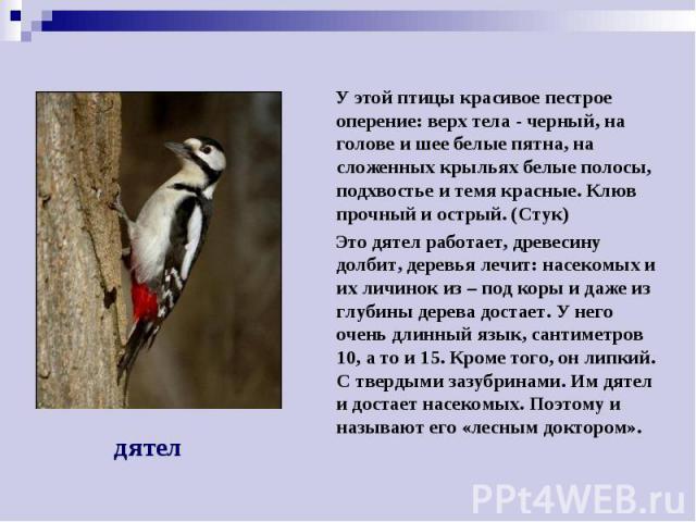 У этой птицы красивое пестрое оперение: верх тела - черный, на голове и шее белые пятна, на сложенных крыльях белые полосы, подхвостье и темя красные. Клюв прочный и острый. (Стук) Это дятел работает, древесину долбит, деревья лечит: насекомых и их …