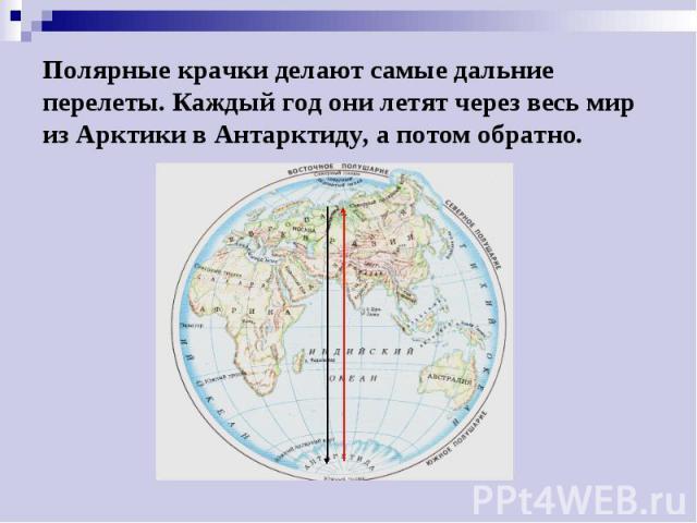 Полярные крачки делают самые дальние перелеты. Каждый год они летят через весь мир из Арктики в Антарктиду, а потом обратно.