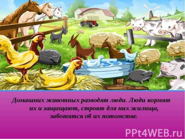 Домашних животных разводят люди. Люди кормят их и защищают, строят для них жилища, заботятся об их потомстве. Домашних животных разводят люди. Люди кормят их и защищают, строят для них жилища, заботятся об их потомстве.