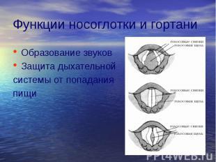 Функции носоглотки и гортани Образование звуков Защита дыхательной системы от по