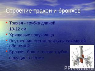 Строение трахеи и бронхов Трахея - трубка длиной 10-12 см Хрящевые полукольца Вн