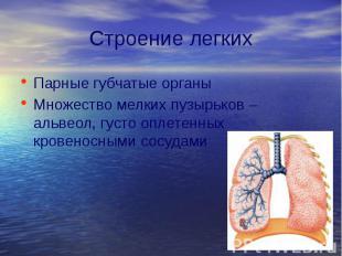 Строение легких Парные губчатые органы Множество мелких пузырьков – альвеол, гус