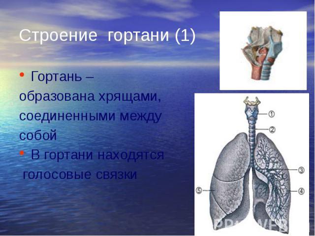 Строение гортани (1) Гортань – образована хрящами, соединенными между собой В гортани находятся голосовые связки