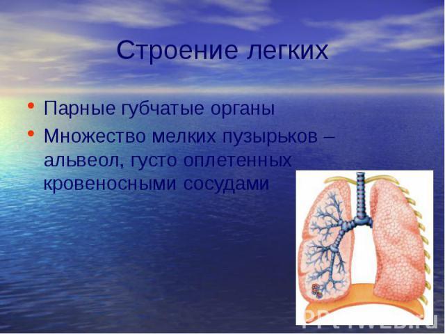 Строение легких Парные губчатые органы Множество мелких пузырьков – альвеол, густо оплетенных кровеносными сосудами