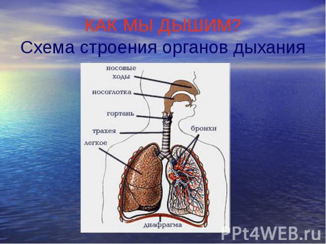 КАК МЫ ДЫШИМ? Схема строения органов дыхания