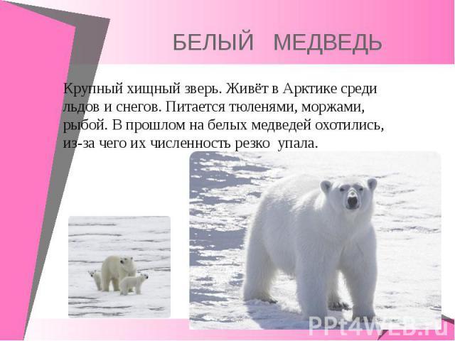 Крупный хищный зверь. Живёт в Арктике среди льдов и снегов. Питается тюленями, моржами, рыбой. В прошлом на белых медведей охотились, из-за чего их численность резко упала. Крупный хищный зверь. Живёт в Арктике среди льдов и снегов. Питается тюленям…