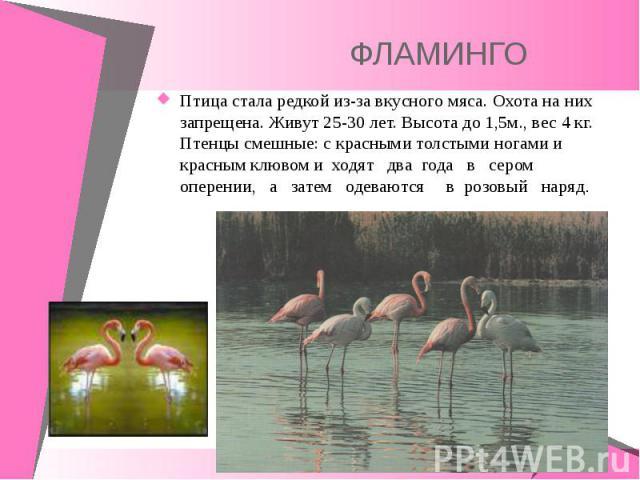 Птица стала редкой из-за вкусного мяса. Охота на них запрещена. Живут 25-30 лет. Высота до 1,5м., вес 4 кг. Птенцы смешные: с красными толстыми ногами и красным клювом и ходят два года в сером оперении, а затем одеваются в розовый наряд. Птица стала…
