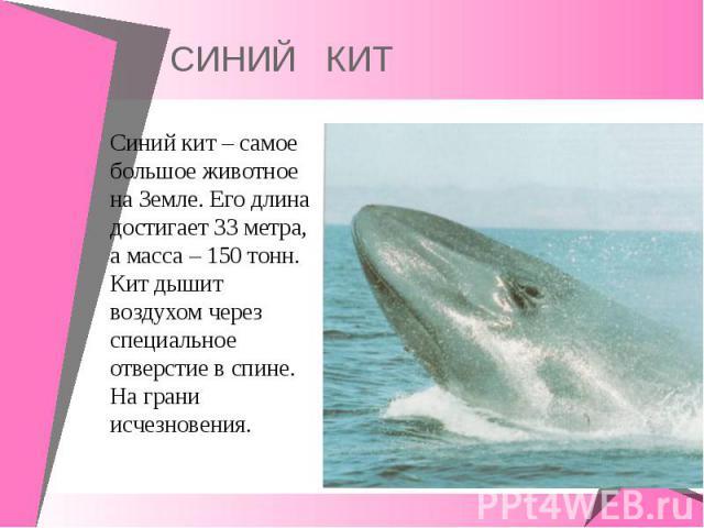 Синий кит – самое большое животное на Земле. Его длина достигает 33 метра, а масса – 150 тонн. Кит дышит воздухом через специальное отверстие в спине. На грани исчезновения. Синий кит – самое большое животное на Земле. Его длина достигает 33 метра, …