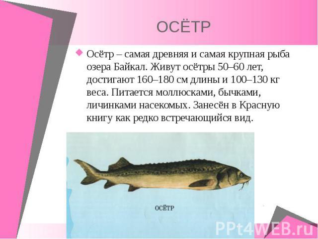 Осётр – самая древняя и самая крупная рыба озера Байкал. Живут осётры 50–60 лет, достигают 160–180 см длины и 100–130 кг веса. Питается моллюсками, бычками, личинками насекомых. Занесён в Красную книгу как редко встречающийся вид. Осётр – самая древ…