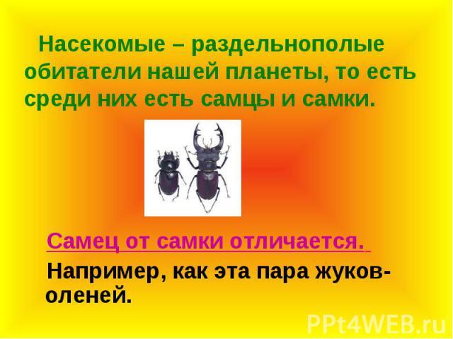 Насекомые – раздельнополые обитатели нашей планеты, то есть среди них есть самцы и самки. Самец от самки отличается. Например, как эта пара жуков-оленей.