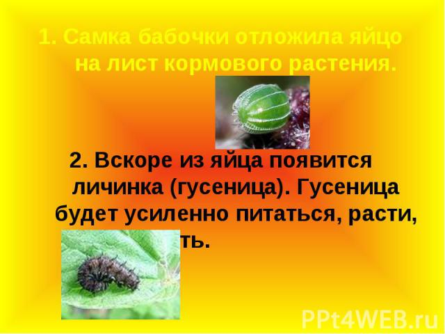 1. Самка бабочки отложила яйцо на лист кормового растения. 1. Самка бабочки отложила яйцо на лист кормового растения. 2. Вскоре из яйца появится личинка (гусеница). Гусеница будет усиленно питаться, расти, линять.