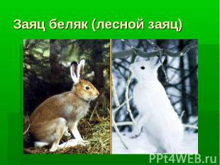 Заяц беляк (лесной заяц)