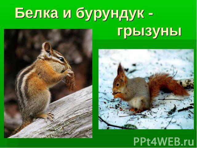 Белка и бурундук - грызуны