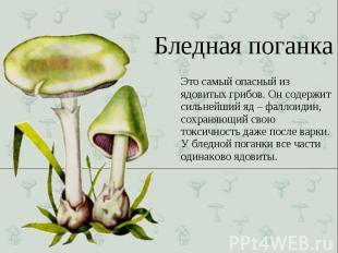 Это самый опасный из ядовитых грибов. Он содержит сильнейший яд – фаллоидин, сох