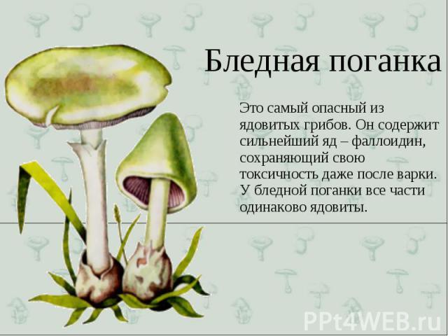 Это самый опасный из ядовитых грибов. Он содержит сильнейший яд – фаллоидин, сохраняющий свою токсичность даже после варки. У бледной поганки все части одинаково ядовиты. Это самый опасный из ядовитых грибов. Он содержит сильнейший яд – фаллоидин, с…