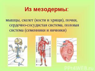 мышцы, скелет (кости и хрящи), почки, сердечно-сосудистая система, половая систе
