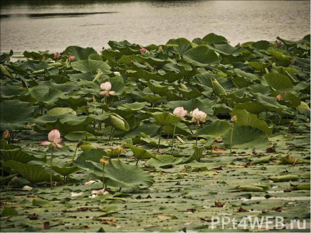 В древности лотос считали священным растением из-за его гелиотропизма — способности цветков поворачиваться за солнцем. Существовала легенда о счастливой стране лотофагов, жители которой, отведав лепестков лотоса, теряют память. Также это символ прох…