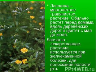Лапчатка – многолетнее травянистое растение. Обильно растет перед домами, вдоль