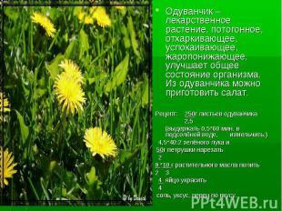 Одуванчик – лекарственное растение, потогонное, отхаркивающее, успокаивающее, жа