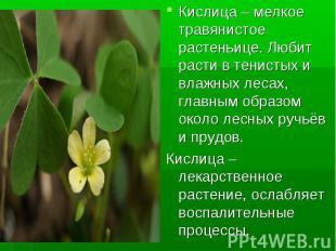 Кислица – мелкое травянистое растеньице. Любит расти в тенистых и влажных лесах,