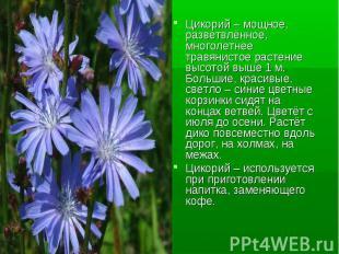Цикорий – мощное, разветвлённое, многолетнее травянистое растение высотой выше 1