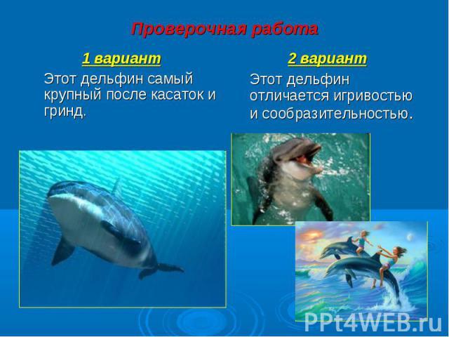 1 вариант 1 вариант Этот дельфин самый крупный после касаток и гринд.