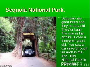 Sequoias are giant trees and they're very old. They're huge. The one in the pict
