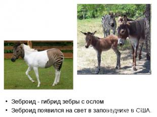 Зеброид - гибрид зебры с ослом Зеброид - гибрид зебры с ослом Зеброид появился н