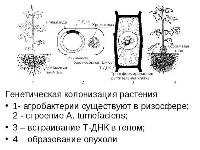 Генетическая колонизация растения Генетическая колонизация растения 1- агробактерии существуют в ризосфере; 2 - строение A. tumefaciens; 3 – встраивание Т-ДНК в геном; 4 – образование опухоли