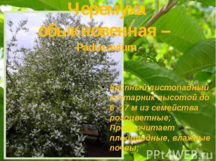 Черемуха обыкновенная – Padus avium Крупный листопадный кустарник высотой до 6 -