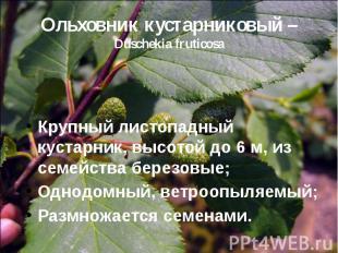 Ольховник кустарниковый – Duschekia fruticosa Крупный листопадный кустарник, выс