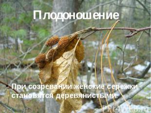 Плодоношение При созревании женские сережки становятся деревянистыми.