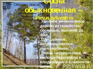 Сосна обыкновенная – Pinus sylvestris Хвойное вечнозеленое дерево из семейства с