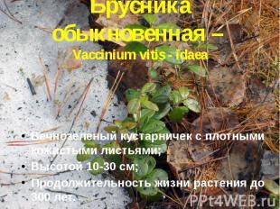 Брусника обыкновенная – Vaccinium vitis - idaea Вечнозеленый кустарничек с плотн