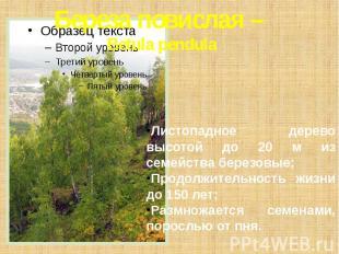 Береза повислая – Betula pendula Листопадное дерево высотой до 20 м из семейства