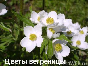Цветы ветреницы