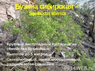 Бузина сибирская – Sambucus sibirica Крупный листопадный кустарник из семейства