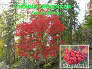 Рябина сибирская – Sorbus sibirica